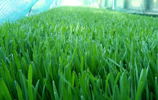 Growing spelt grass
